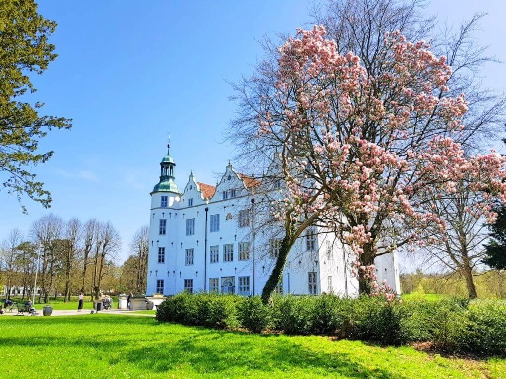 Der Magnolienbaum vor Schloss Ahrensburg im Frühjahr 2018 – Foto: Nicole Stroschein