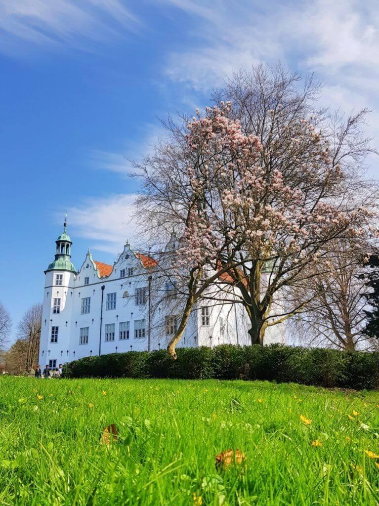 Der Magnolienbaum vor Schloss Ahrensburg im Frühjahr 2019 – Foto: Nicole Stroschein
