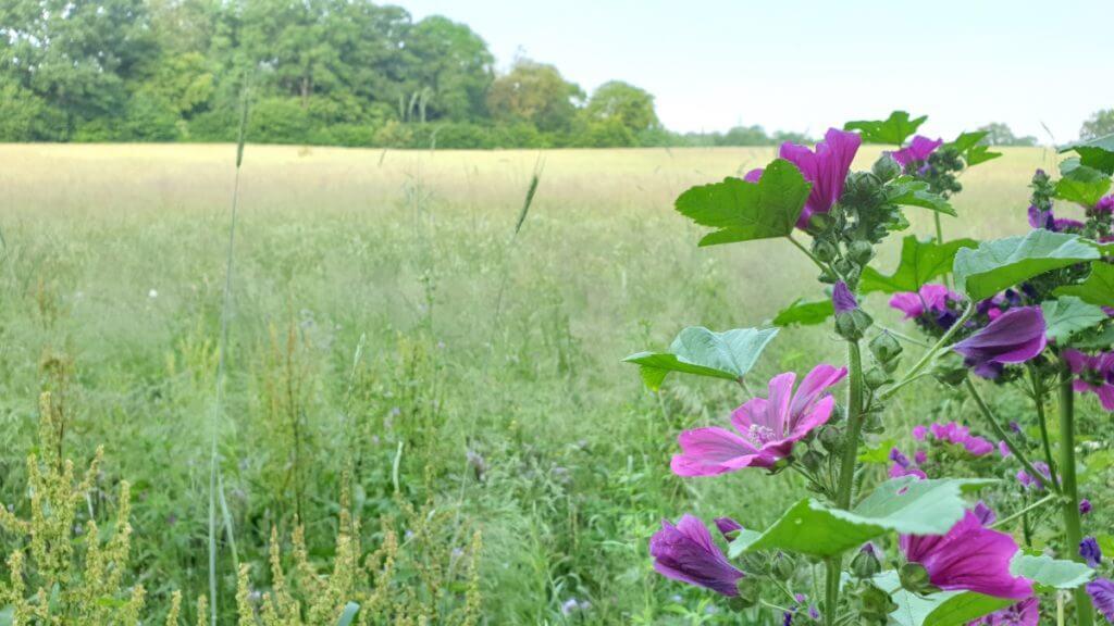 Feld am Bredenbeker Teich – Foto: Nicole Stroschein