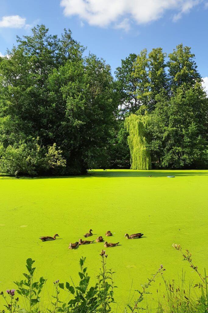 Enten auf dem Aalfang Teich – Foto: Nicole Stroschein