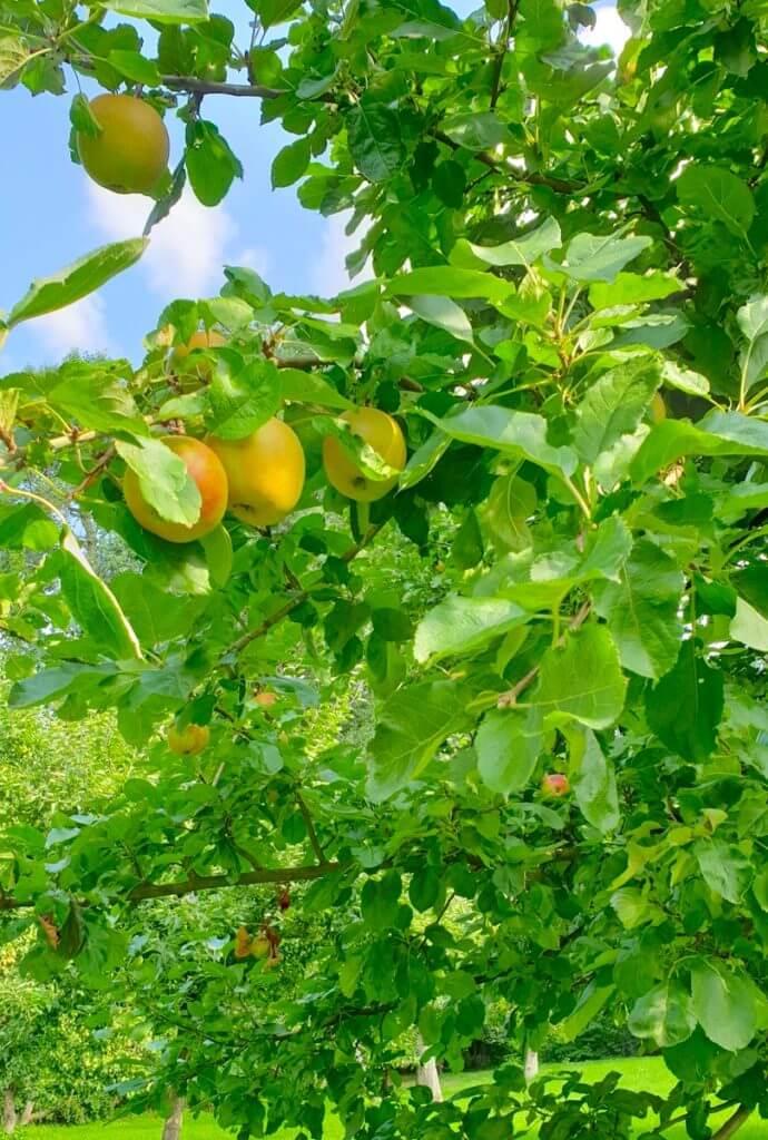 Äpfel als Geschenk der Stadt – Foto: Nicole Stroschein
