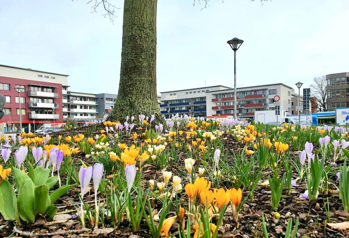Krokusse am Rathausplatz in Ahrensburg – Foto: Nicole Schmidt