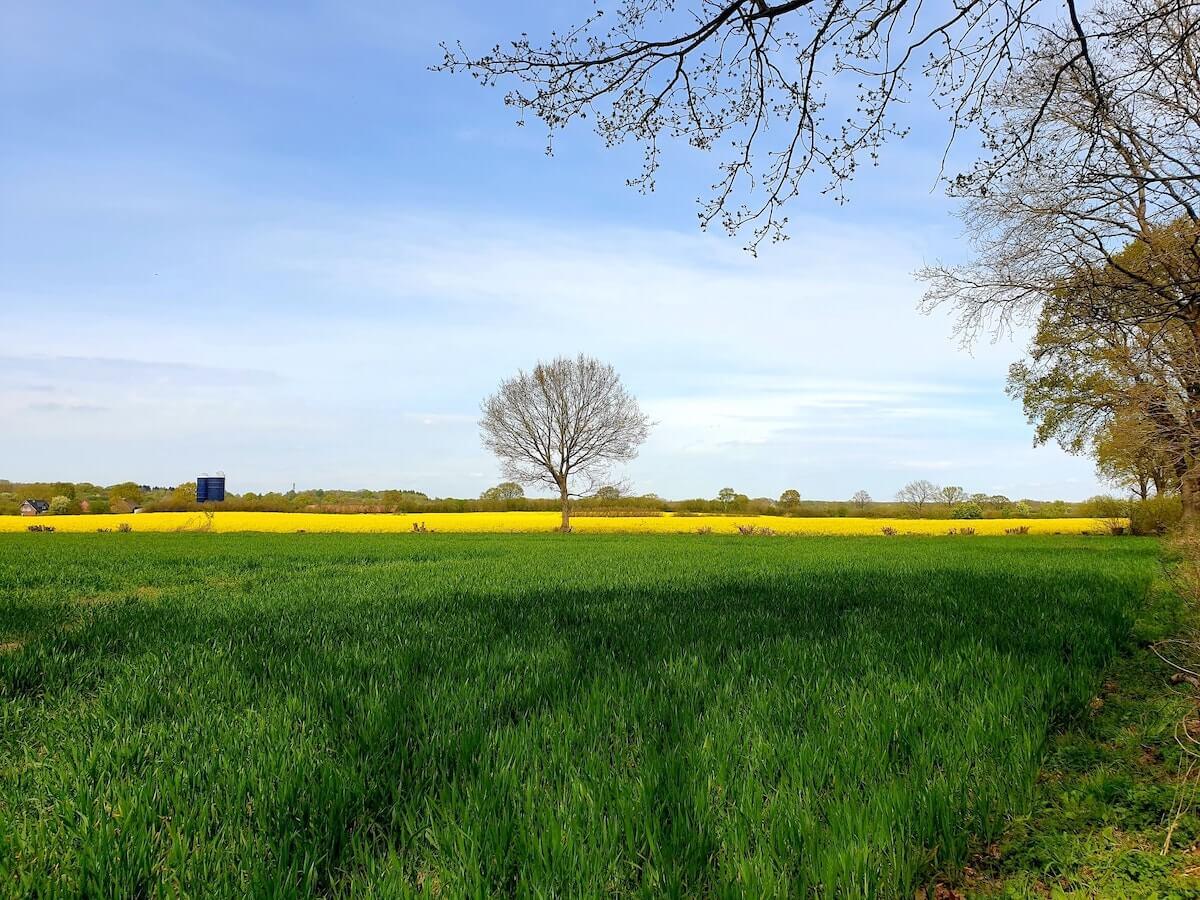Rapsfeld in Ahrensburg