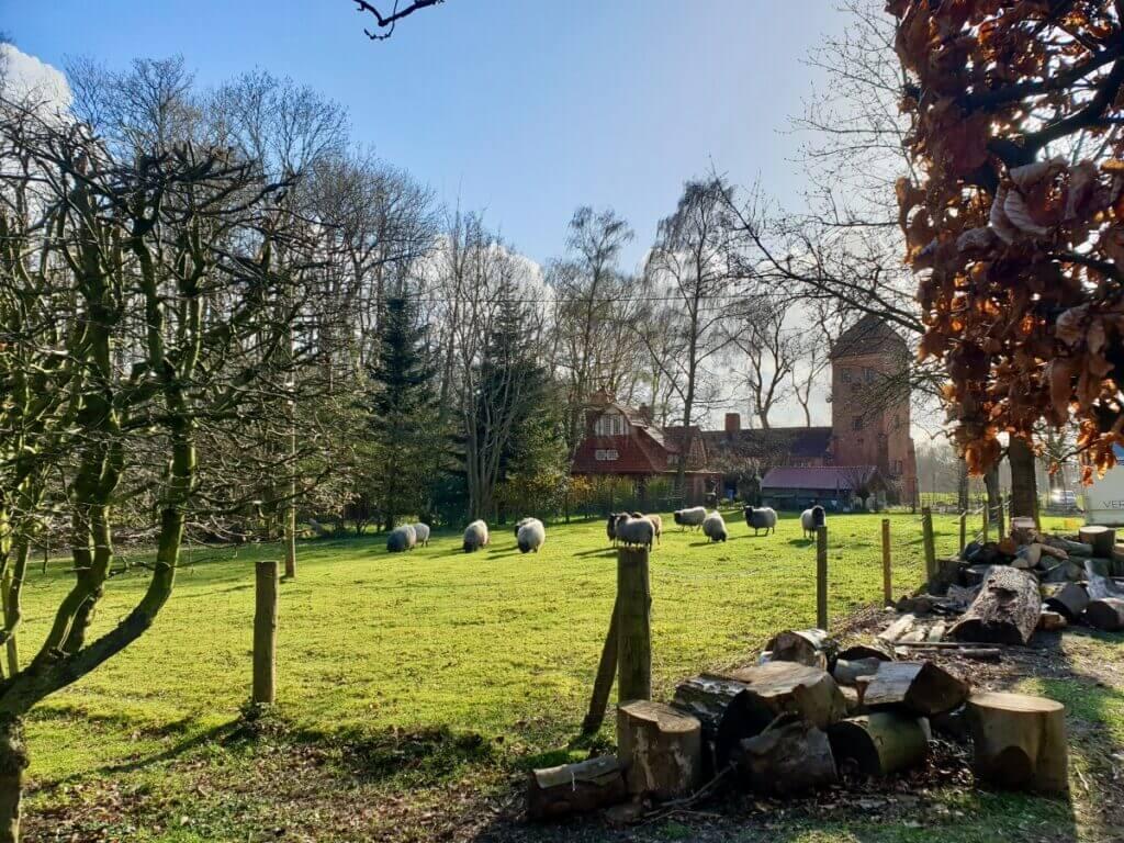 Schafe am Haus der Natur in Ahrensburg –Foto: Nicole Schmidt