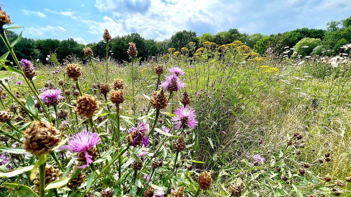 Wildblumenwiese am Erlenhof in Ahrensburg, – Foto: Nicole Schmidt