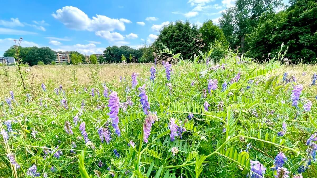 Wildblumenwiese am Erlenhof in Ahrensburg, lila blühende Vogelwicke – Foto: Nicole Schmidt