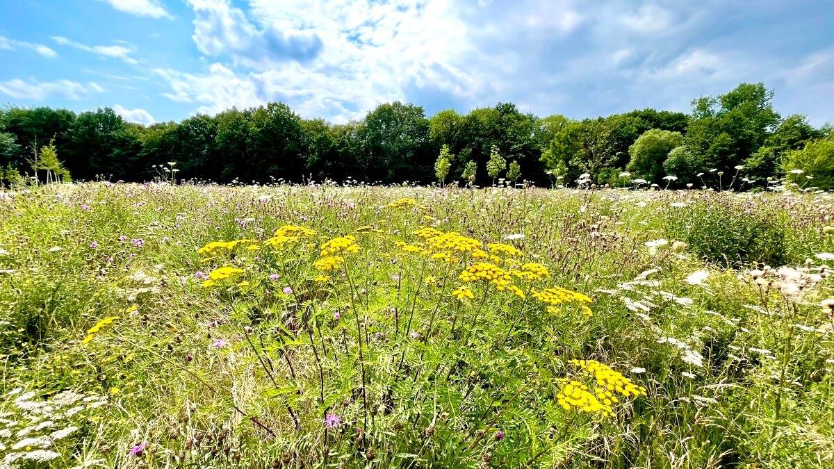 Wildblumenwiesen in Ahrensburg – Wo die Bienen sich wohlfühlen!
