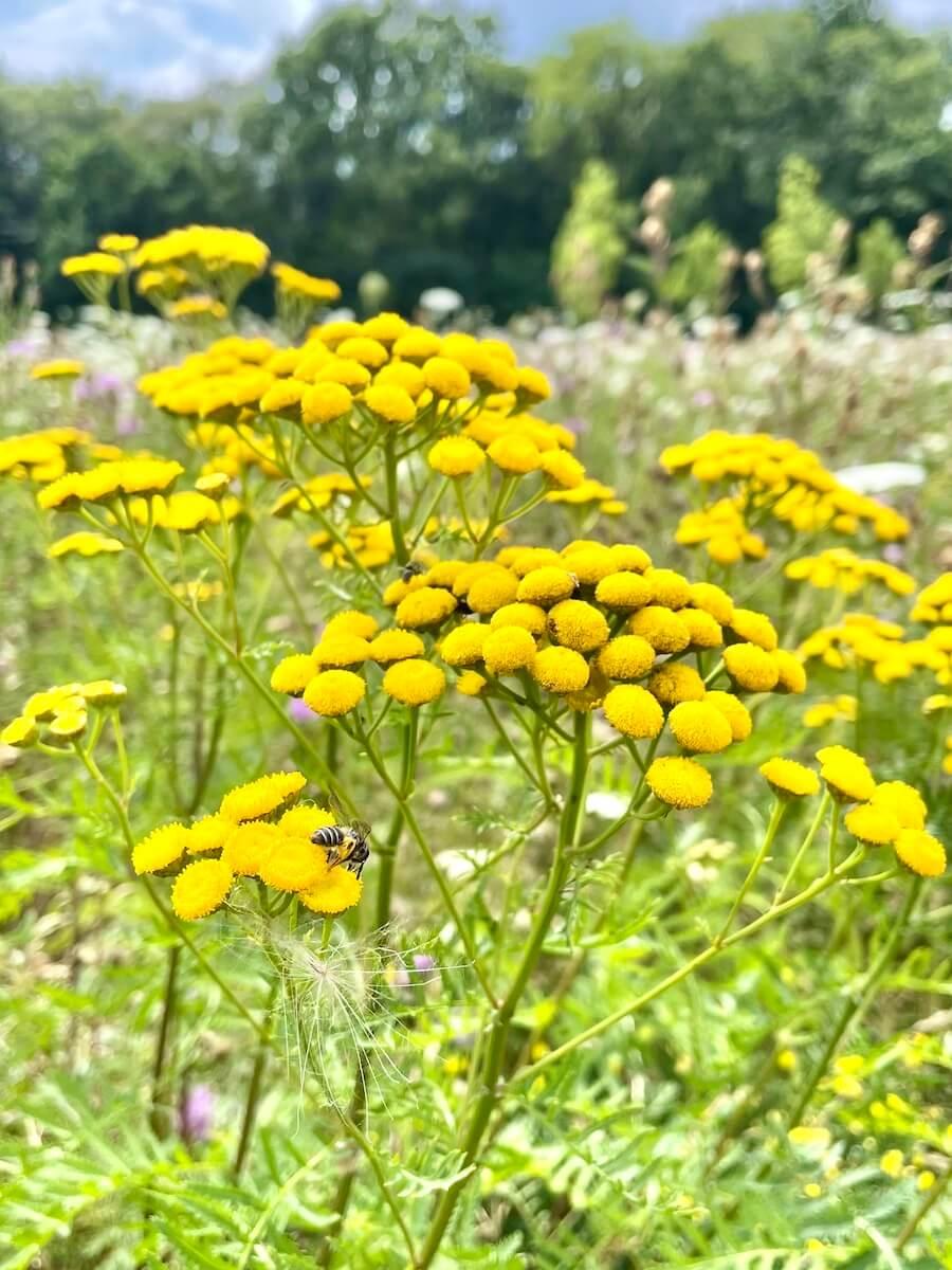 Wildblumenwiese am Erlenhof in Ahrensburg – Rainfarn – Foto: Nicole Schmidt